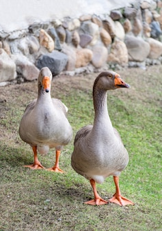 Two brown goose