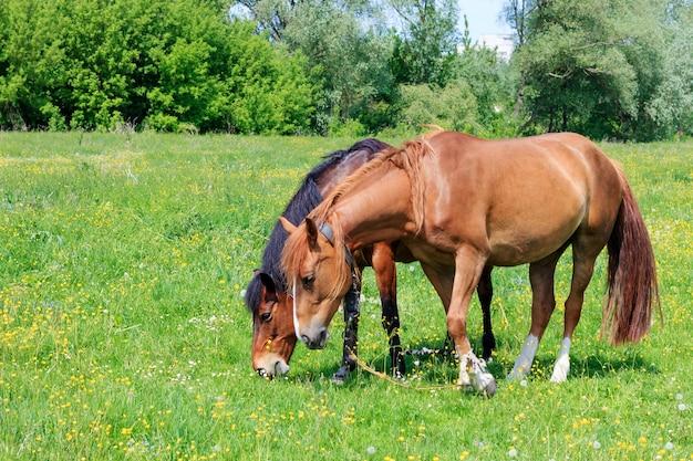晴れた夏の日に牧草地の緑の芝生で放牧している2頭の茶色の馬