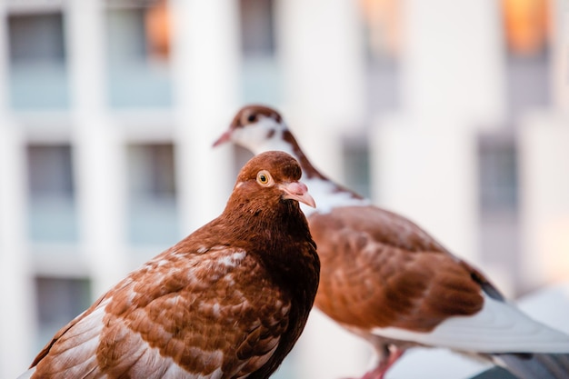 Два коричневых красных голубя на балконе