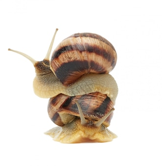 Two brown snails are isolated on a white space