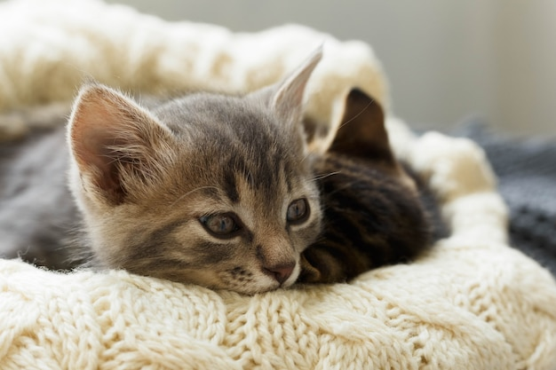 Two brown striped cats kittens sleeps on knitted woolen beige plaid. little cute fluffy cat. cozy home.