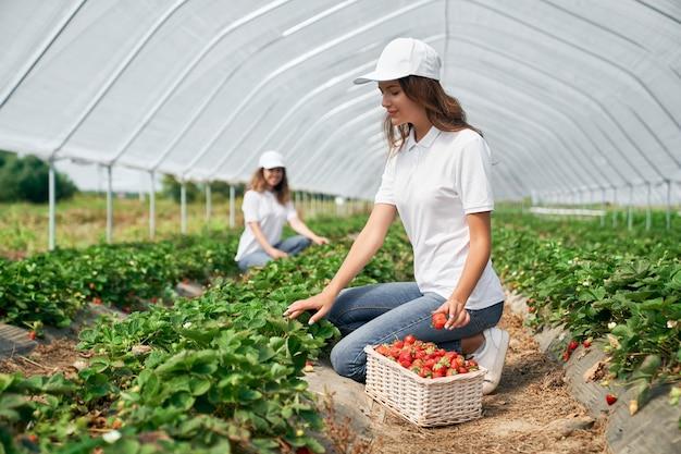 2つのブルネットが温室でイチゴを収穫しています