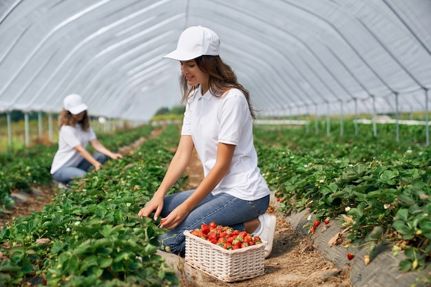Two brunettes are picking strawberries in greenhouse