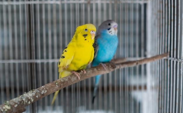 Два волнистых попугайчика с размытым фоном
