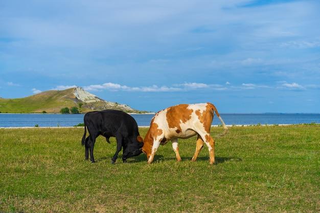 Два быка на зеленом лугу
