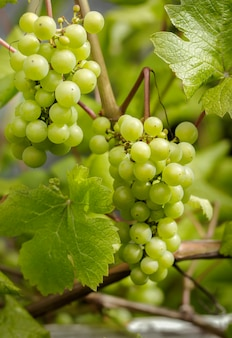 Две грозди сочного зеленого винограда на лозе.