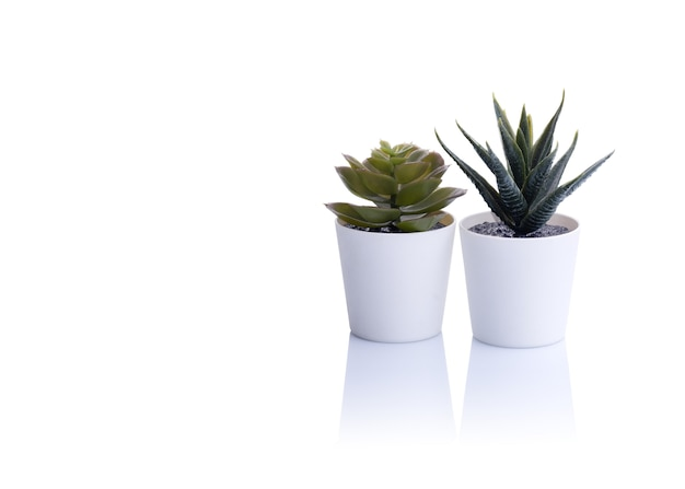 Two cactus in a pot on white table