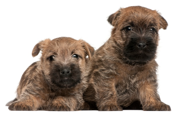Two cairn terrier puppies, 6 weeks old