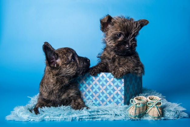 Two cairn terrier puppies dogs in gift box on blue