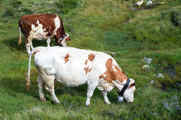 Two calm cows on pasture