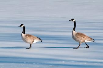 凍った湖を歩いている2頭のガチョウ