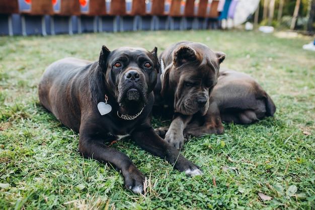 2匹のカネコルソ犬