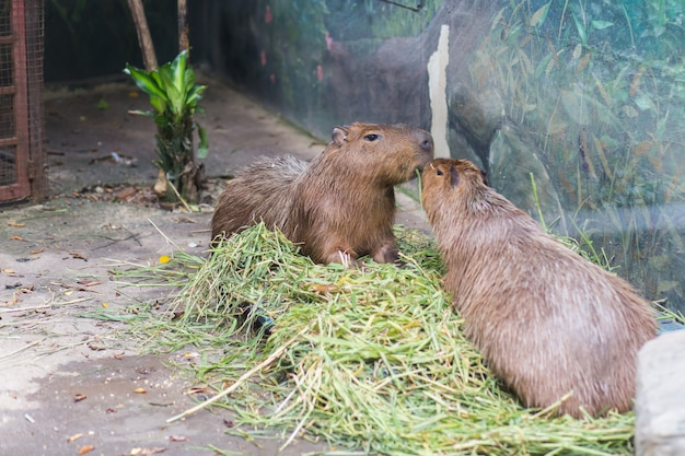 Two capybara eating grass in dusit zoo, thailand.