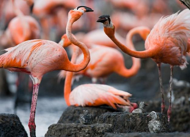 互いに遊んでいる2つのカリブ海フラミンゴ