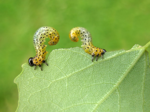 Two caterpillars eat a leaf of a tree in the garden.