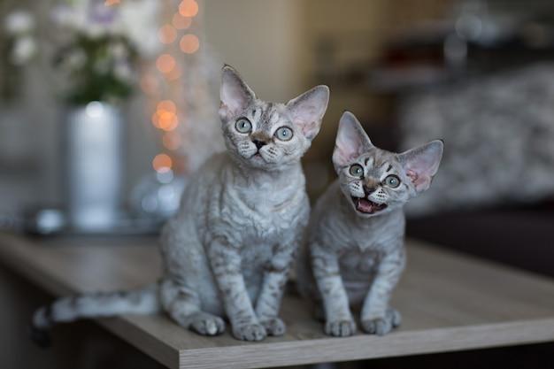 2匹の猫がテーブルに座っています。そのうちの1匹はニャーと鳴きます。