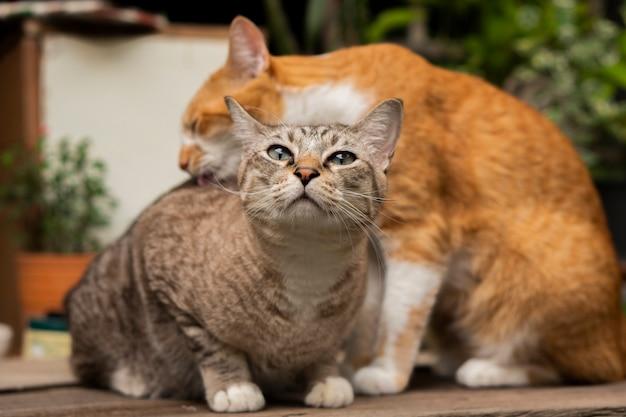 2匹の猫がテーブルの上でお互いをからかい、掃除している。