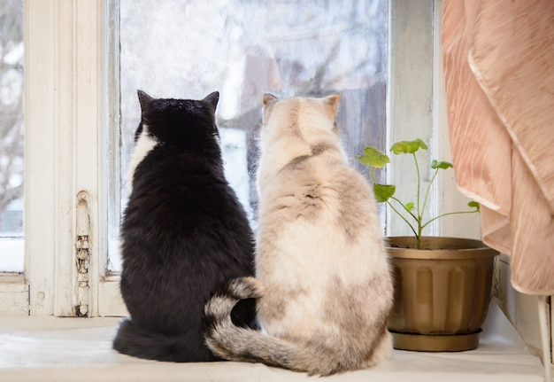 Две кошки черно-белые серо-белые сидят на подоконнике и смотрят в старое окно на улице