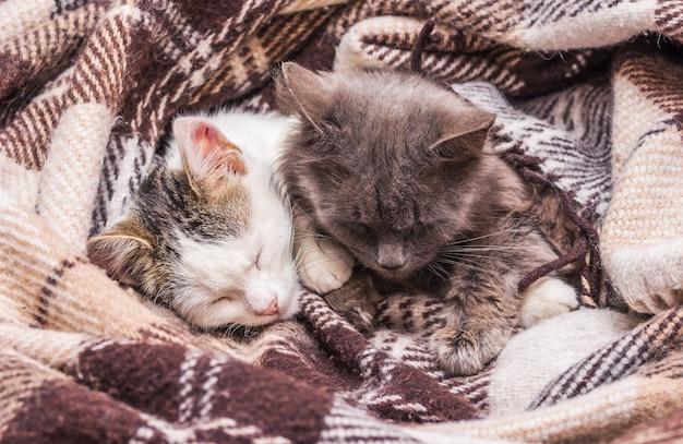 ベッドで寝ている毛布で覆われた2匹の猫