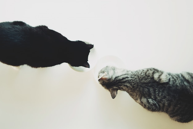Two cats eat top view. pet friendship.