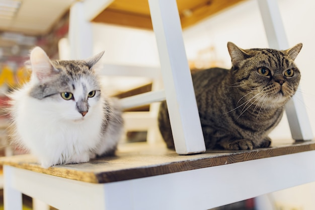 Two cats friends maine coon and calico breeds sitting below and above on top of chair looking through window in home living room.