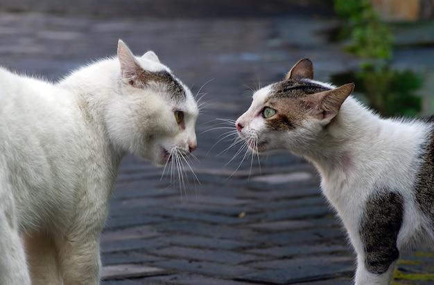 紛争中の2匹の猫、戦う準備ができており、焦点が浅い