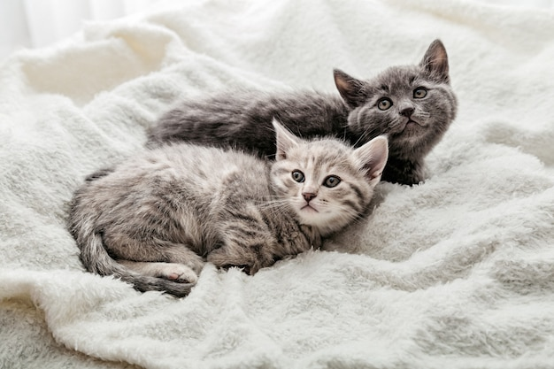 Two cats lie on white blanket look up. playful kittens watch their eyes lying on soft bed. thoroughbred cats resting. british gray and tabby kitten. top view portrait.