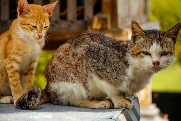 Two cats at the the royal family temple in bali. indonesia