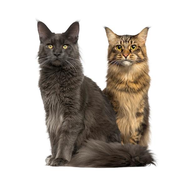 白で隔離されて座って目をそらしている2匹の猫