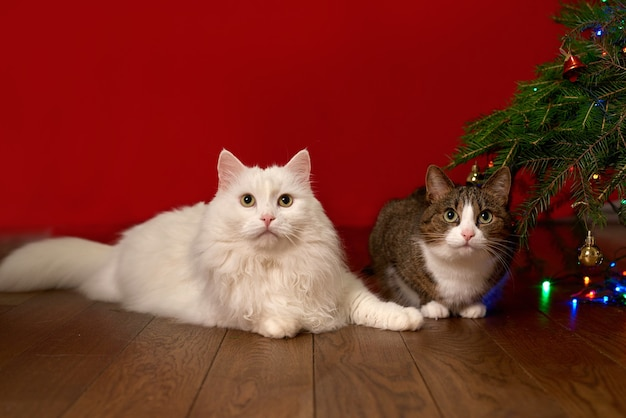 Две кошки сидят рядом с ветвями еловой елки на красном новогоднем фоне