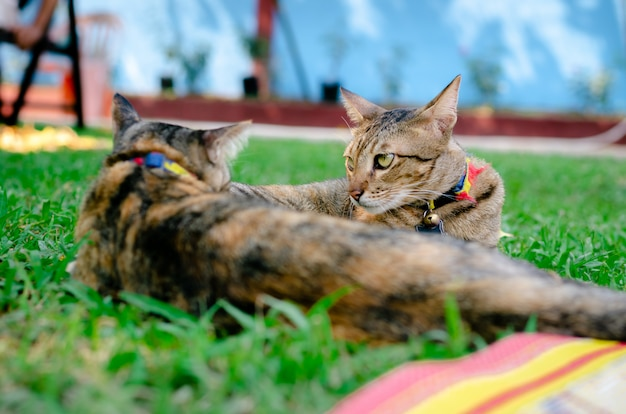 Two cats sitting and playing to each other on the grass.