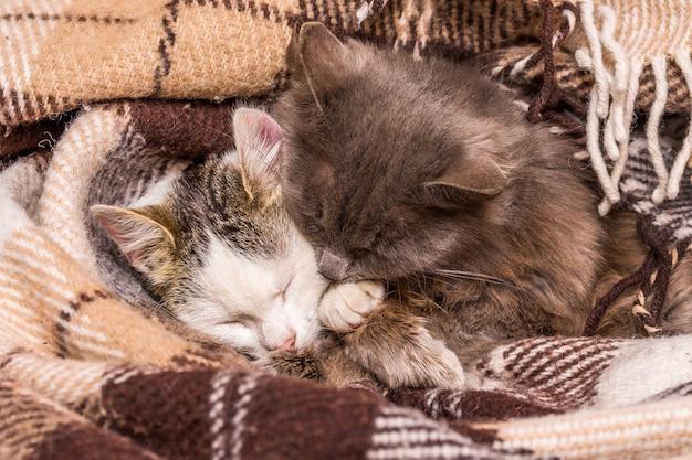 2匹の猫が格子縞の下で抱き締めて眠る_