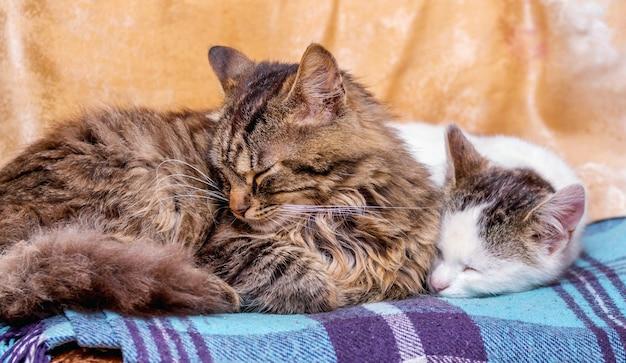 2匹の猫が格子縞で寝ています。猫-お母さんと赤ちゃん_