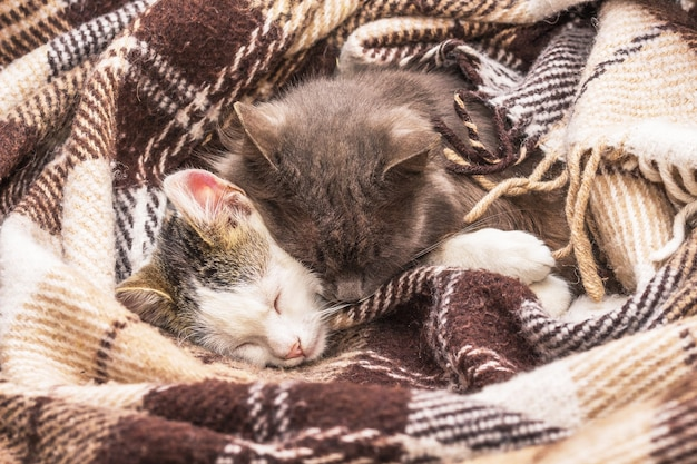 Two cats sleep together, covered with a blanket
