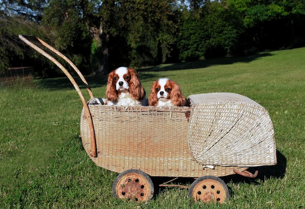 Two cavalier king charles dogs in wicker stroller