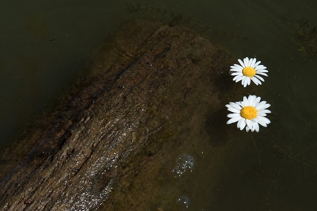 Two chamomile flowers float in the muddy water of the pond or river close to wooden log