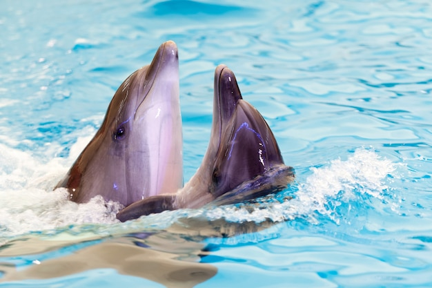 Two cheerful friends dolphins swims together in blue water in the sea or in the pool. the concept of smart dolphins and training. dolphinarium concept