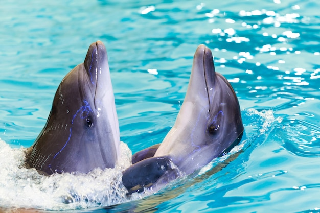 Two cheerful friends dolphins swims