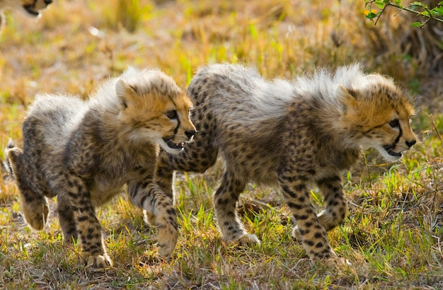 Два детеныша гепарда идут по саванне.