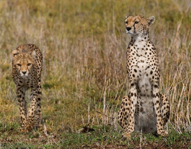 Два гепарда в саванне.
