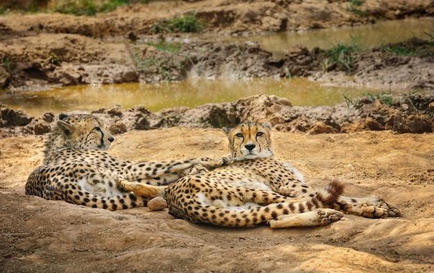 Two cheetah lying on ground