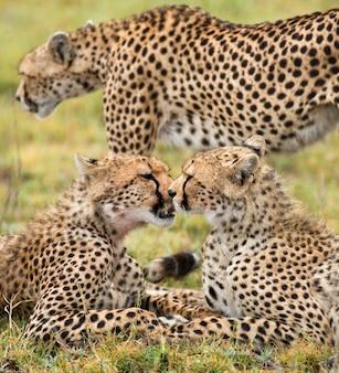 В саванне лежат два гепарда.