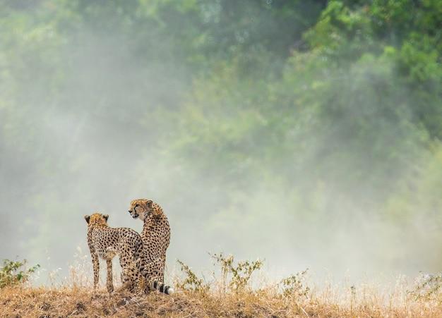 Два гепарда сидят рядом и смотрят на пыль в саванне.