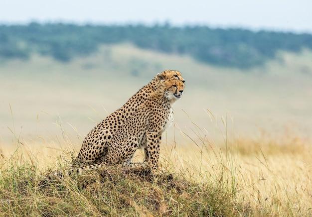 Два гепарда сидят на холме в саванне.
