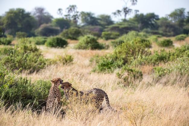 Два гепарда гладят друг друга после еды