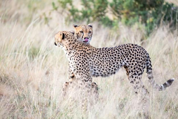 Два гепарда чистят шерсть друг друга в высокой траве