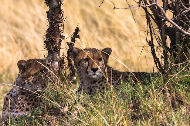 Два гепарда внимательно следят за саванной