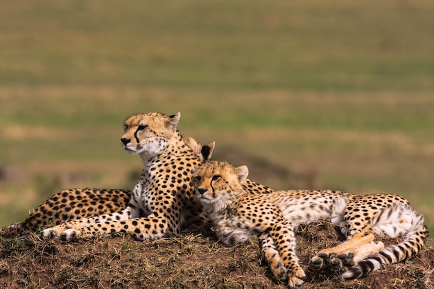 Два гепарда наблюдают за саванной. холмы масаи масра, кения