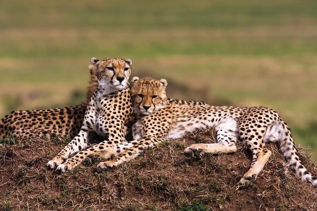 Два гепарда наблюдают за саванной. холмы серенгети, африка