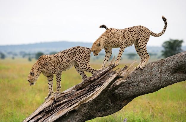 Два гепарда на дереве.